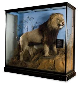 Panthera leo melanochaitus, cape Lion